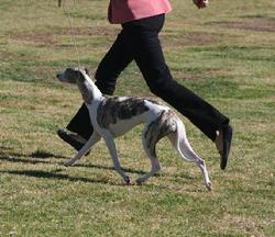With her trademark floating gait, Desty takes her first Best in Show at only age two, piloted by Yvonne Barter (Satang).