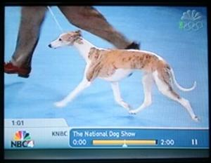 The winning whippet featured on NBC's National Dog Show Thanksgiving Day was our Epic.